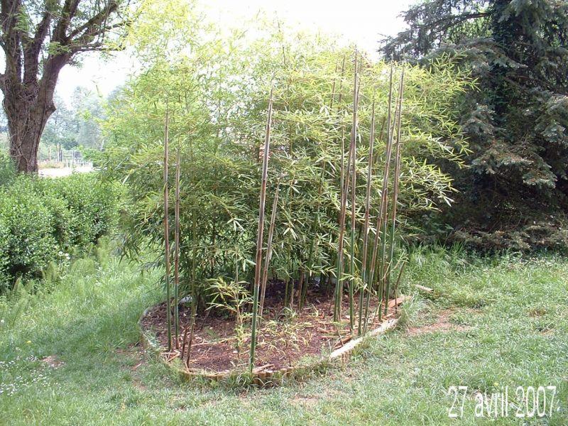 Mes bambous phyllostachys viridiglaucescens for Phyllostachys aurea en pot