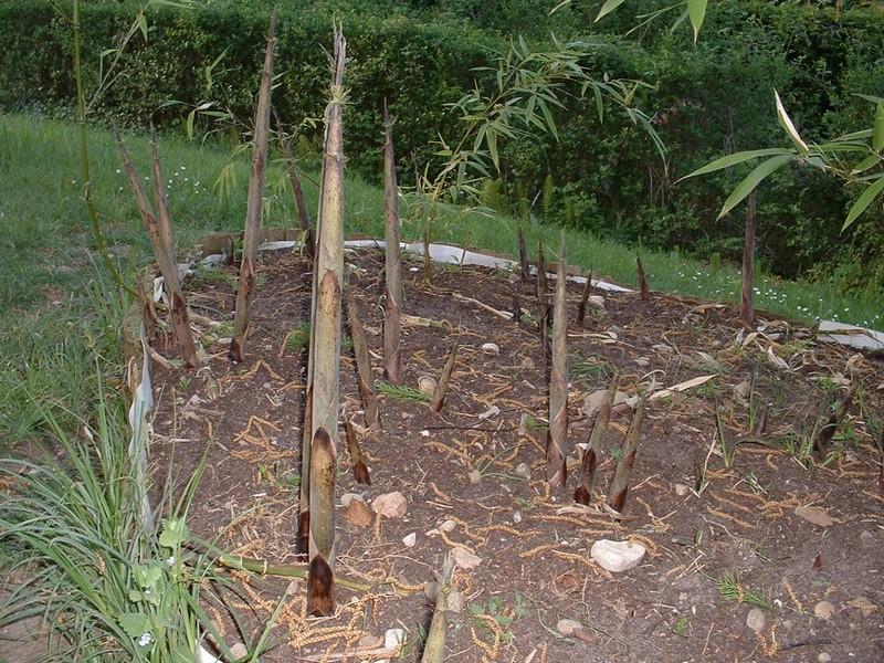 Mes Bambous Les Turions