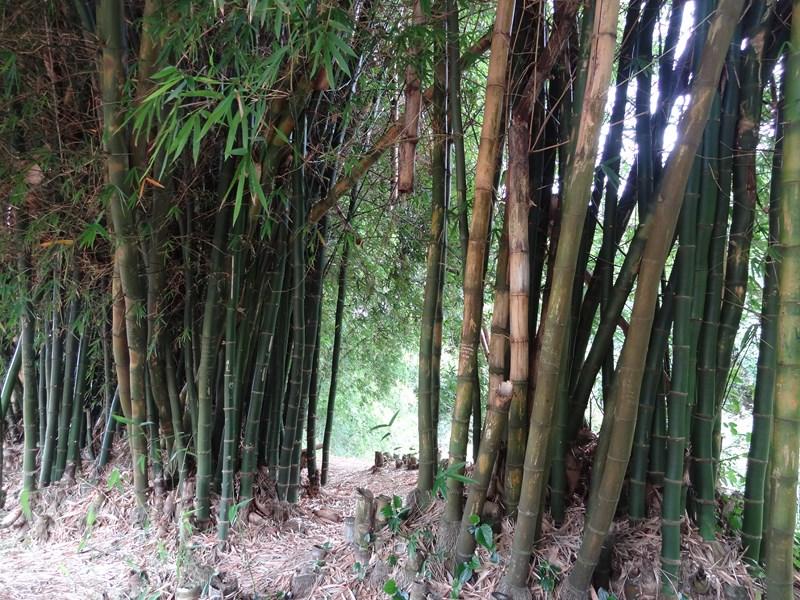Bambous de la Réunion... dsc00863-copier